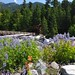 Small photo of Lupine & Longmire Bridge