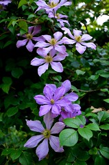 blossom(0.0), clematis(1.0), annual plant(1.0), flower(1.0), lilac(1.0), wildflower(1.0), flora(1.0), petal(1.0),