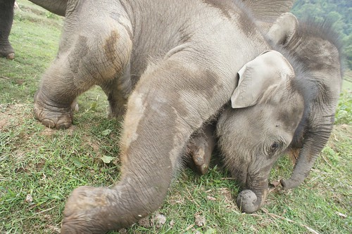 由大象保育公園支持的社區生態觀光方案,鼓勵飼養大象的Karen族部落不再使用剝奪與鞭打的方式。圖片的兩隻小象是7個月的雙胞胎姊妹,她們依然跟媽媽、阿姨一起在村落附近的叢林生活,沒有進籠子的經驗。