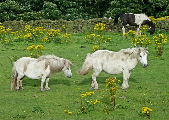 Généralement, les chevaux délaissent le séneçon, mais c'est lorsqu'il est à l'état de fourrage qu'il est le plus dangereux, car ils le mangent volontiers.