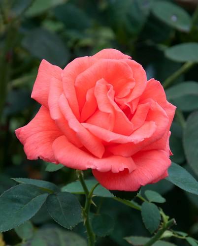 Rosa 'Tropicana' Sw 86-412 B 8-25-12 2955 lo-res