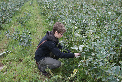 Picking broad beans