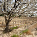 Vineyard with Tree in blossom near Bandol, South of France