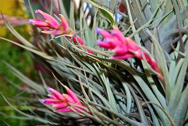 Tillandsia recurvata hybrid