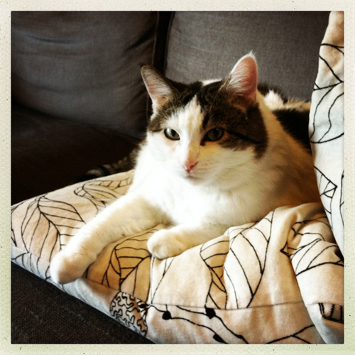 image of Olivia the Cat lying on some pillows, looking cute and snuggly