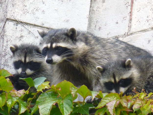 Mum-and-baby-raccoons