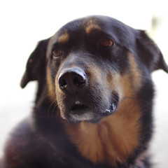 dog breed, animal, dog, pet, mammal, rottweiler,