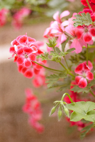 More pretty geraniums