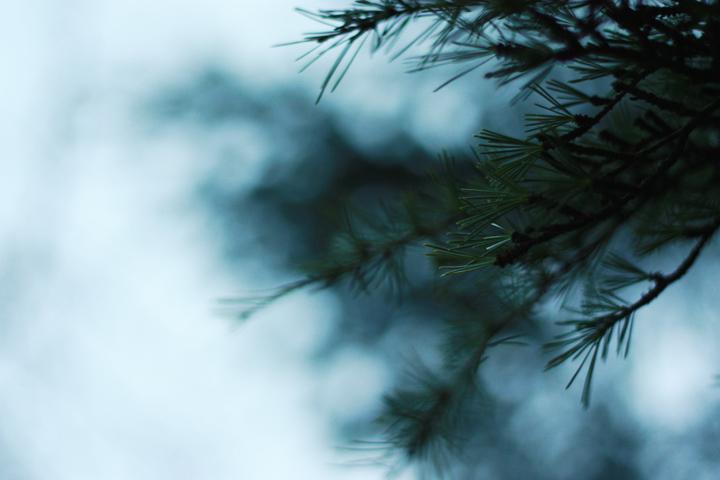 tree pines
