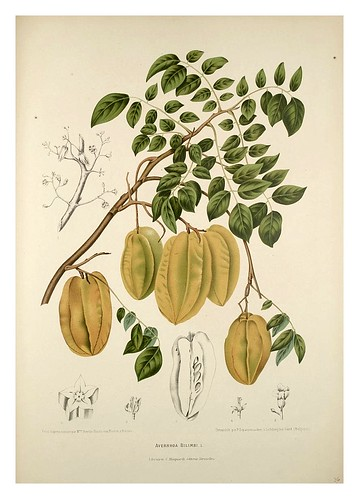 021-Bilimbi o pepino de arbol-Fleurs, fruits et feuillages choisis de l'ille de Java-1880- Berthe Hoola van Nooten