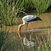 Painted Stork (Thomas Mills)