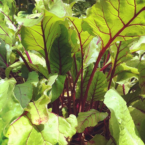 """Early Wonder"" beets #urbangarden #organicgarden #maine #lughnasadh"