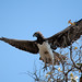 Martial Eagle - Polemaetus bellicosus by lyn.f
