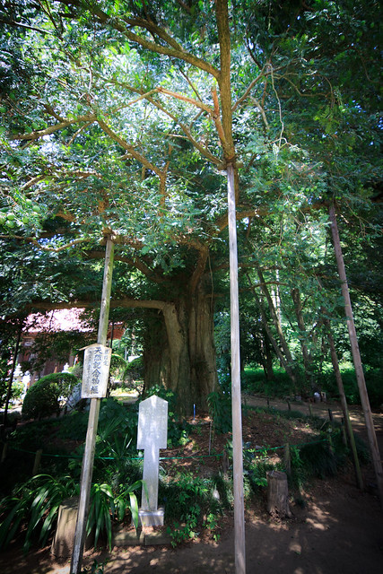 #45 The Giant Nutmeg-yew of Henjou Temple