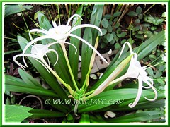 Hymenocallis caribaea (Spider Lily) in our inner garden bed, July 18 2012