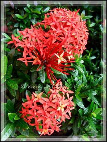 Ixora coccinea 'Dwarf Red' in our inner garden bed, July 22 2012