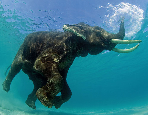 elefante bajo agua