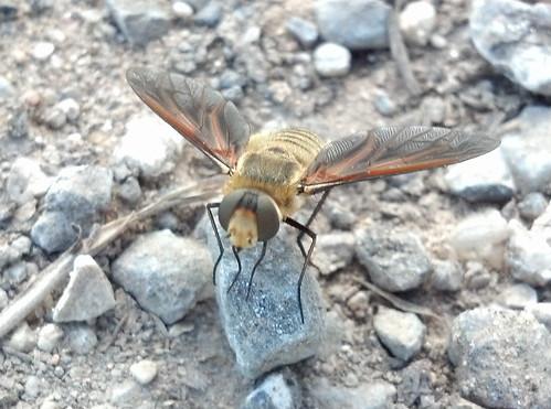 2012-07-24 - Bee or Bee Mimic - 18-11-58_132_2