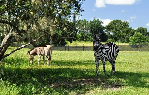 Zedonk and Zebra, Girafffe Ranch, Dade City, Fla.
