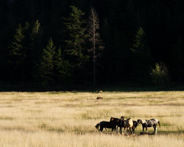 Canadian horses
