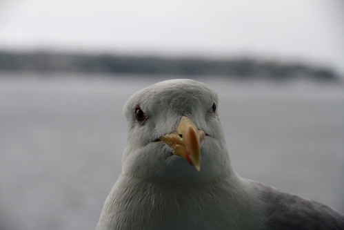 Gull Consternation