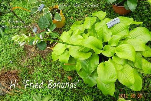H. 'Fried Bananas'