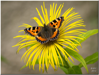 Small Tortoiseshell on Inula