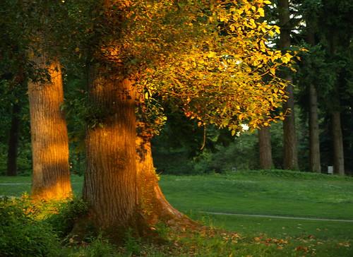 park trees talltrees sunsettrees burnabybc beautifultrees sunlittrees lougheedburnabybc