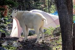 Goat in the campsite