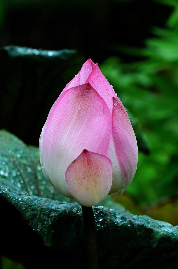 2012.07.22 台南白河蓮花