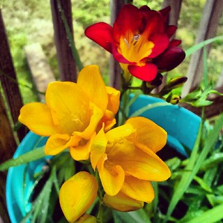 #freesia #containergarden #flower #igrewit #summer #picoftheday #photooftheday #deck