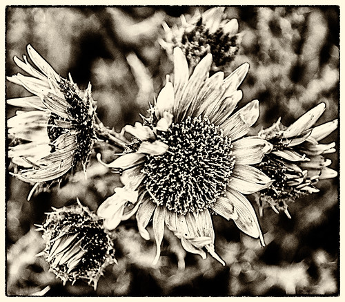 heart of the flower (b&w) -2 by joeeisner