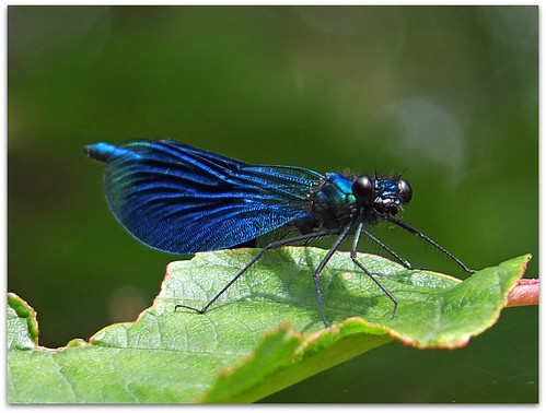 Banded Demoiselle on green!