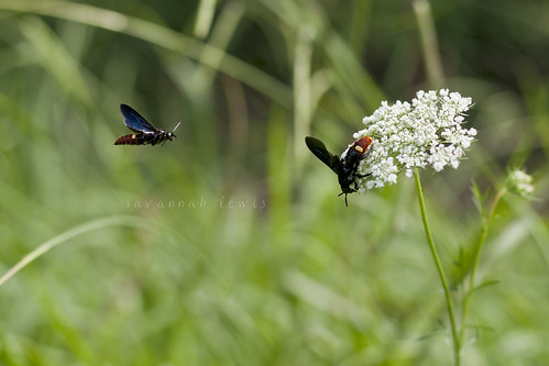 Blue-winged Wasps on Queen Anne's Lace