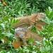 Green Iguanas (Josh Joshi)