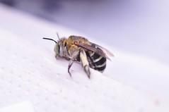 青條花蜂的大顎十分有力