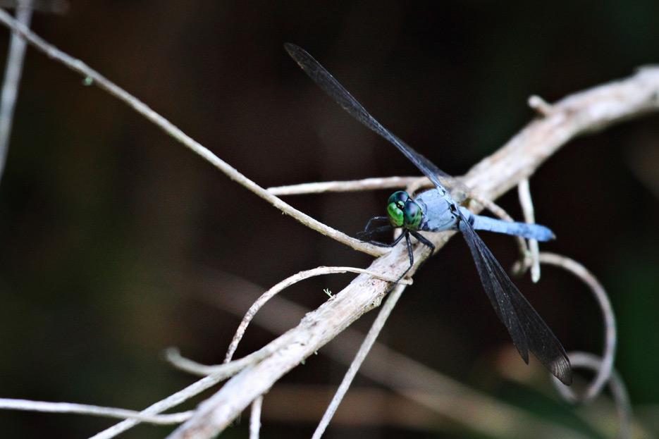 072612_04_zbug_dragonfly03