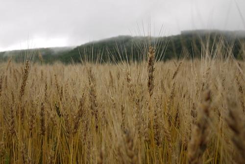 Wheat fields near Oketo (Hokkaido, Japan)