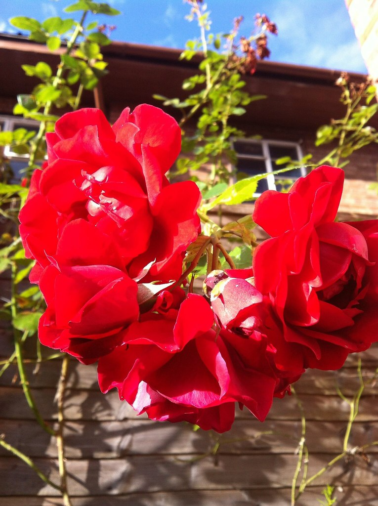 Enjoying the garden 2: brilliant bright red roses