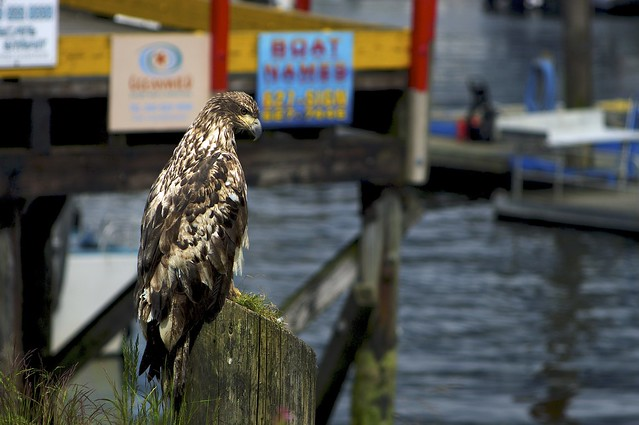 Juvenile Eagle in Cowbay