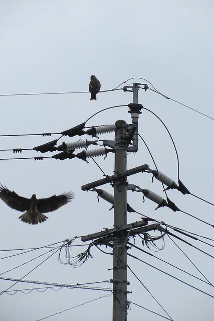 Tsutsu hawks