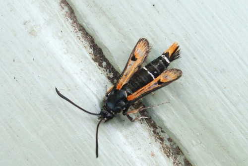 Fiery Clearwing (Pryopteron chrysidiformis)