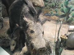 domestic pig(0.0), animal(1.0), peccary(1.0), wild boar(1.0), pig(1.0), fauna(1.0), pig-like mammal(1.0),
