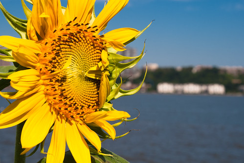 Sunflower on the Hudson