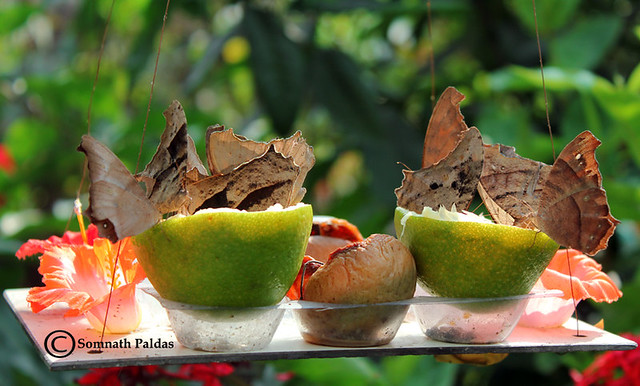 Fruit Party ' 2011 at my butterfly garden