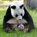 2012 08 19 Zoo Berlin - Bao Bao 005 by giantpandazoo.com