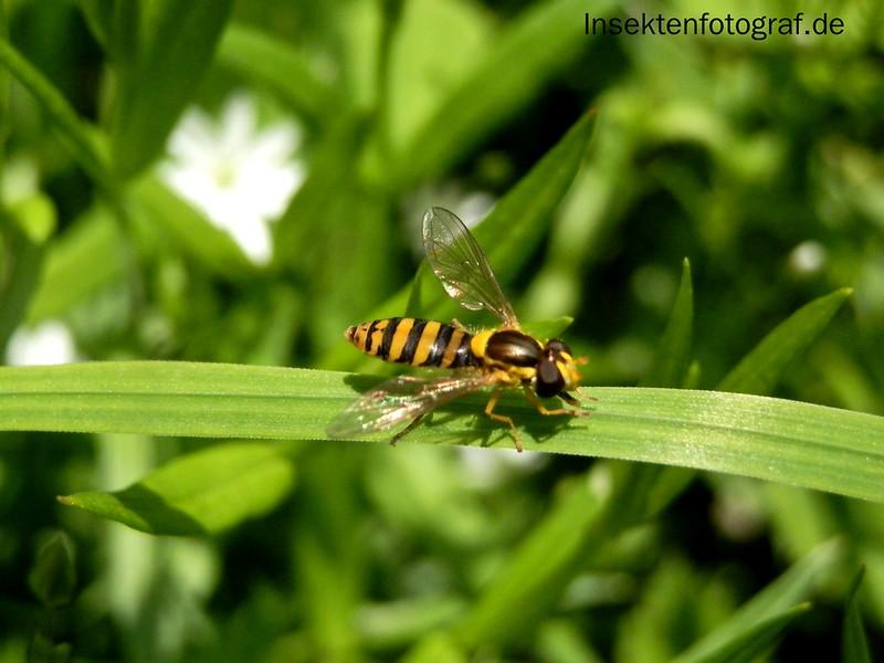 Gewöhnliche Langbauchschwebfliege (Sphaerophoria scripta)