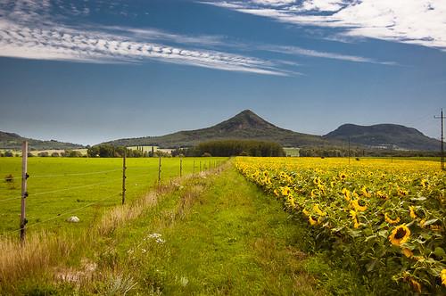 summer hungary sunflower land