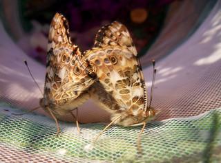 Schmetterlinge beim Sex