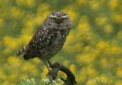 Burrowing owl - Birding in Peru with Nature Expeditions